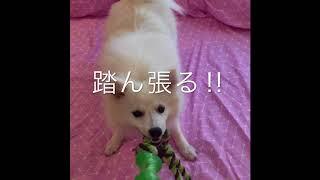 Japanesespitz Lemon  <綱引き> わたちレモン  白もふ犬 もふもふ犬 ...