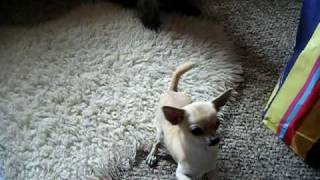 Raffa The Chihuahua && Bonnie The Cairn Terrier