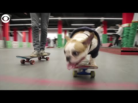 Watch: Bulldog loves skateboarding!