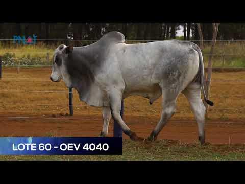 LOTE 60 - OEV4040 - NELORE