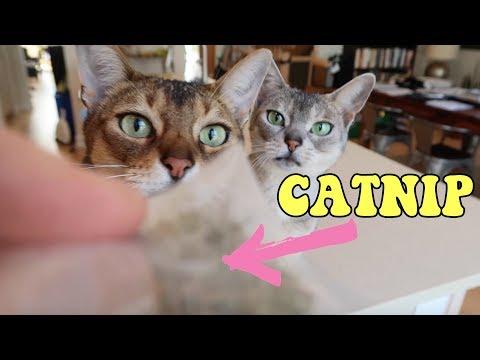 Why do cats like catnip? | Abyssinian cat CUTE CAT CLEO