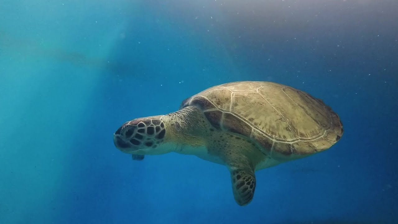 Yahtzee, a Rescued Sea Turtle Returns Home on Valentine's
