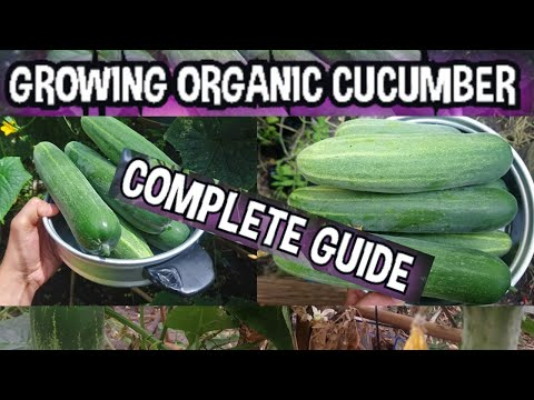 Grow Organic Cucumber at Home | A Step-By-Step Guide To Grow Cucumber Successful