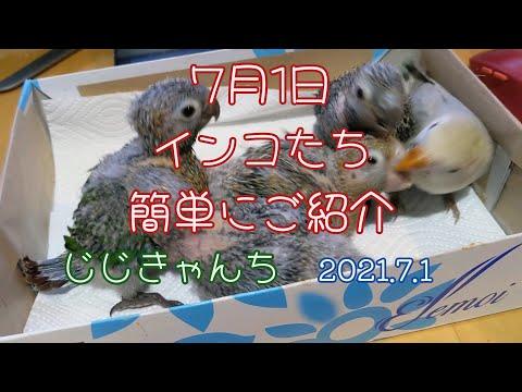 ウロコ雛の紹介動画...🐣