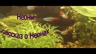 Неоны (Рассказ о Неонах/Аквариумные рыбки) тетра Aqua Blog Подпишись!!!(дноклассники: http://odnoklassniki.ru/group/56502301360163 Смотрите также: №1 Как сделать аквариумную крышку/Do aquarium cover http://youtu.b..., 2013-03-24T18:03:29.000Z)