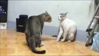 Cats Fight Really Fast ORIGINAL (No looping) #ZinZeta