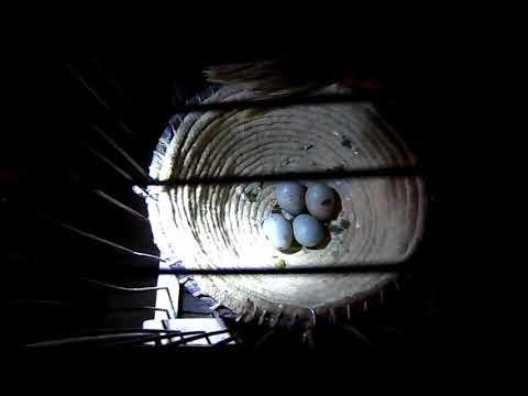 Размножение канареек, осмотр и перемещение яиц.