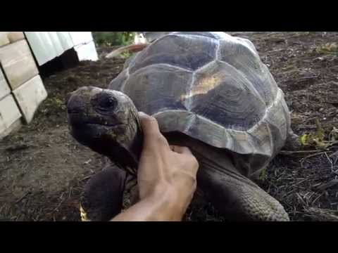 aldabra tortoise 5 yrs old