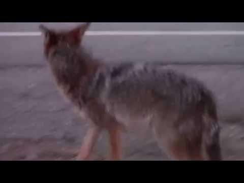 Kojot kolo naszej galerii