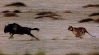 Wild Animals: Lions Chase Wildebeest