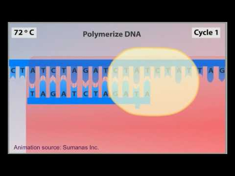 PCR animation - polymerase chain reaction