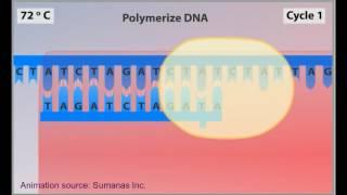PCR animación - reacción en cadena de polimerasa