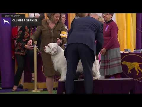 Spaniels (Clumber) | Breed Judging 2020