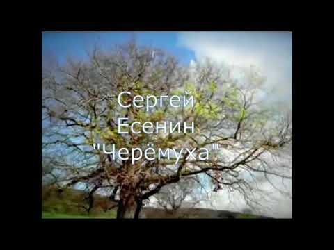 Изображение предпросмотра прочтения – АлександраДесенко читает произведение «Черёмуха» С.А.Есенина