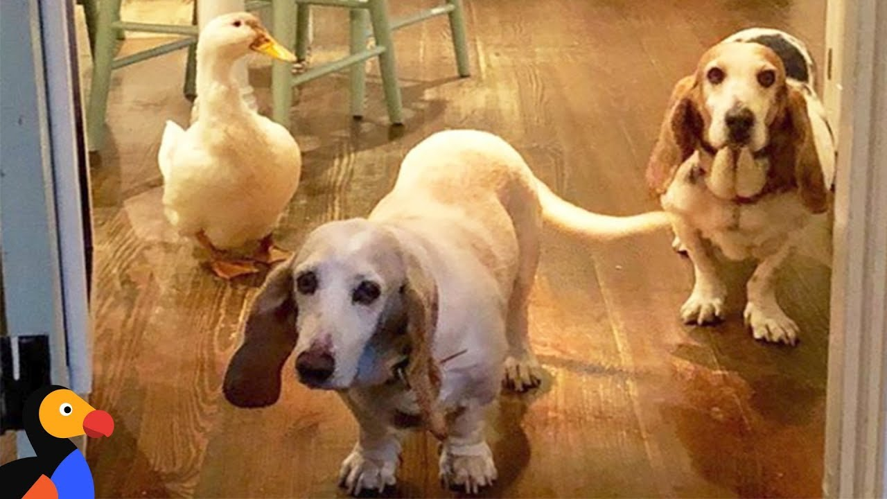 Rescue Duck Would Do Anything To Be Like The Dogs | The Dodo