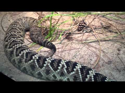 Large Venomous Eastern Diamondback Rattlesnake at the Atlanta Zoo