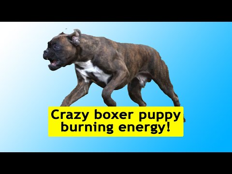 crazy-boxer-puppy-sammie-burning-some-energy!-😁
