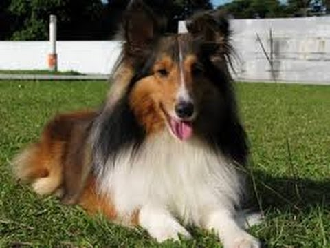 Shetland Sheepdog (Sheltie) - Dog Breed