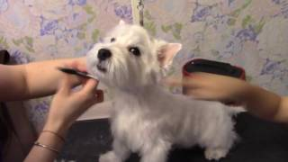 Первый тримминг нашего Вестика Бадди West Highland White Terrier