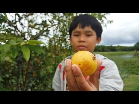 Pink Guava Fruit | Harvest and Eat Guava Fruit