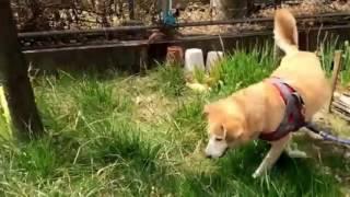 ボール嫌いな犬がボールを好きになるのか、おもしろ雑種犬のかわいい動...
