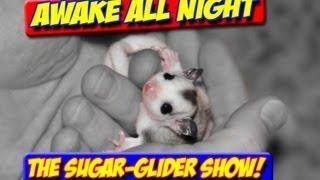 AWAKE ALL NIGHT THE SUGAR GLIDER SHOW PREMIERE EPISODE 11/8/2012 health biting hpw creator bonding