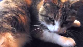 Cat Adopts Chick (Кошка приняла цыпленка)