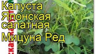 Капуста японская салатная Мицуна Ред. Краткий обзор, описание brassica oleracea Mitcuna Red