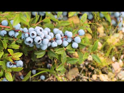 Fresh from the Wild | Wild Blueberries