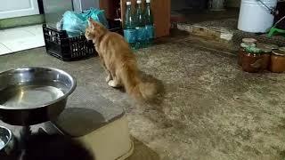 Красный мрамор кошка мейн-кун