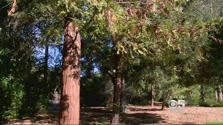 Redwood Grove Sown From Seeds That Traveled In Outer Space