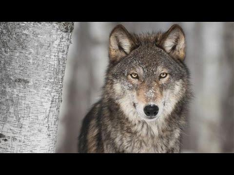 Gray Wolves Return to California
