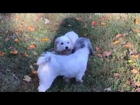 Coton de Tulears Kate & Button RUNNING around their Nashville yard!