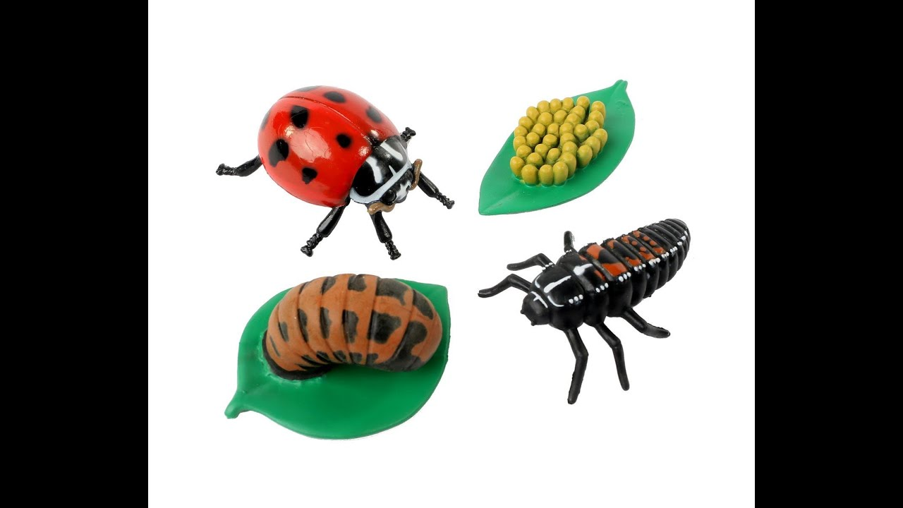 Review: Insect Lore Ladybug Life Cycle Stages - YouTube - photo#37