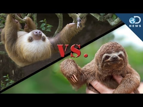 Why Are There 2-Toed and 3-Toed Sloths?