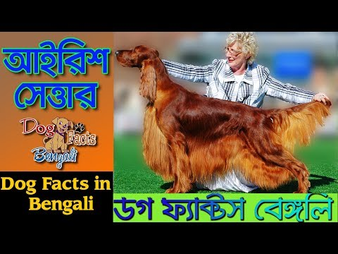 Irish setter dog facts in Bengali | Dog Facts Bengali | Popular Dogs | Dog anad Facts