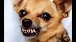 Мысли маленькой злой собаки