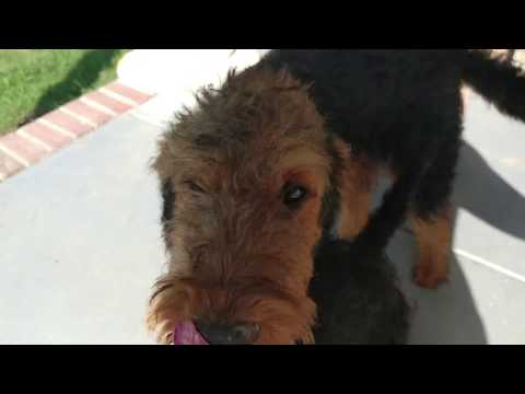 Front Porch Docile Golden Face Airedale Terrier Puppy Puppies For Sale On July 27, 2018