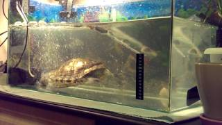 Беговая дорожка для красноухой черепахи