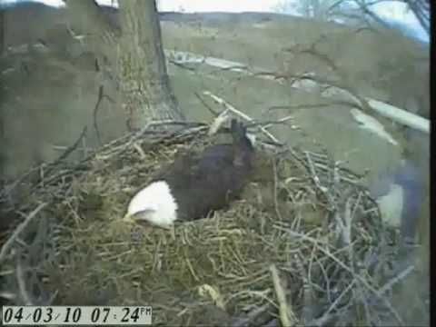 Watch Live Hatch  04/03/10 Bald Eagle Cam Fish Hatchery, Decorah, IA First Eaglet
