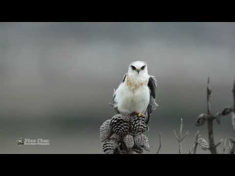 White-tailed Kite Of CHRP