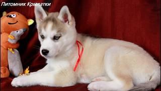 Девочка щенок хаски Тиана Сали, родилась 18 ноября 2018 года