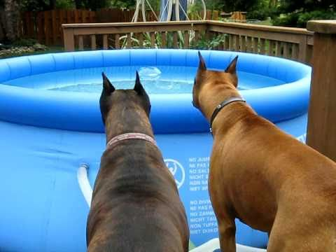 maverick & baily my boxer dogs spooked by floater in pool