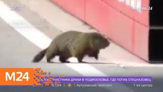 """Сурок едва не погиб под колесами болида """"Формулы-1"""" - Москва 24"""