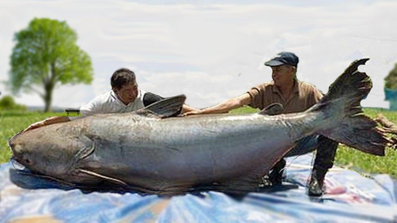 World 39 s biggest catfish catches youtube for World largest fish