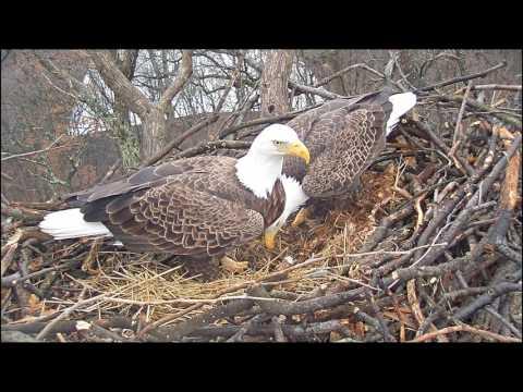 EAGLE CAM 2017- Eagles prepare nest for eggs! #EagleEggWatch - ECC, MPDC - Washington, DC