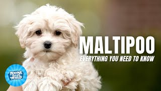 Maltipoo Dog Breed Information  Your Next Jogging Buddy