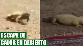 Lagarto Escapa de Calor Insoportable en el Desierto || VÍDEO VIRAL 2016