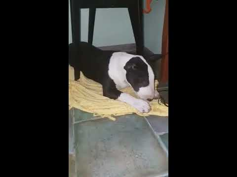 Bull Terrier Ponte  Can't Chew A Treat) Бультерьер Понтэ не может прожевать лакомство)