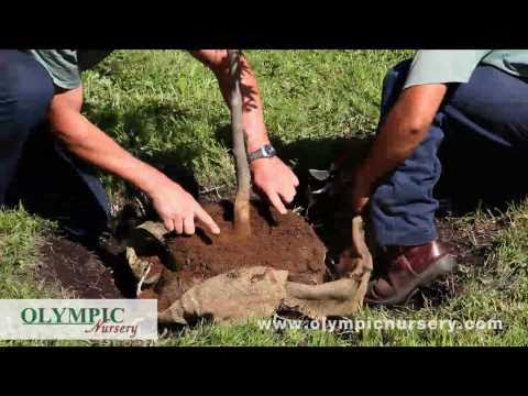 How to Plant Tree in Soil